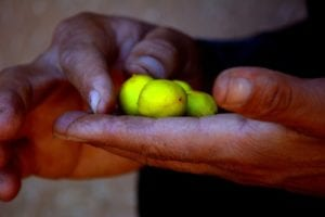 Argan oil is derived from the seed inside Argan fruit.