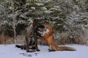 animal friendships fox and hound