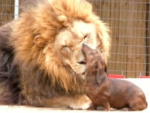 animal friendships lion and dog