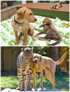 animal friendships dog and cheetah