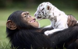 animal friendships chimp and tiger cubs