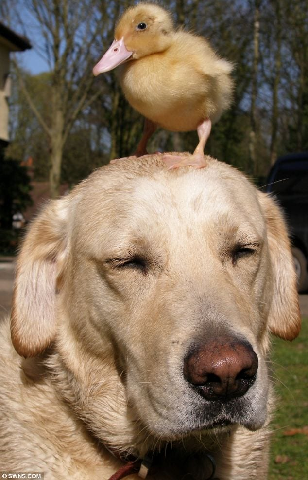 Animal friendships dog and chick