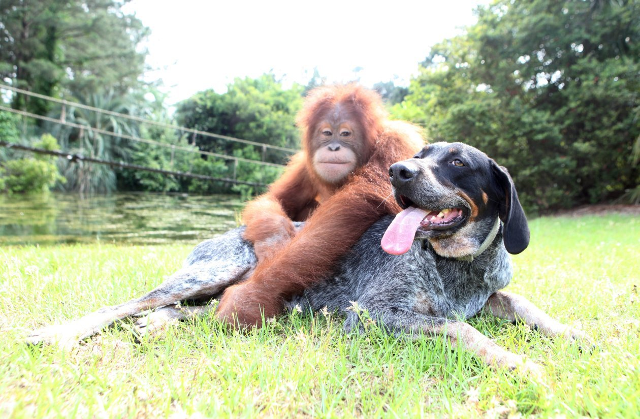 animal friendships orangutan dog