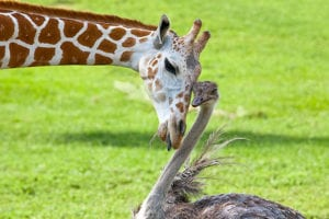 animal friendships ostrich and giraffee