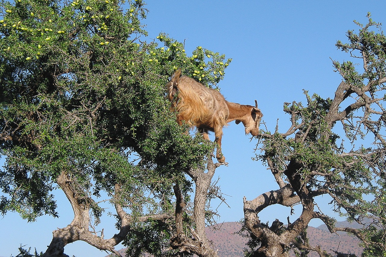 An Argan tree in Morocco, argan oil