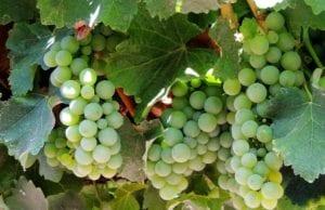 best white wines
