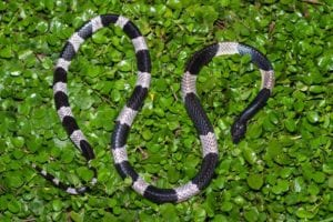 dangerous snakes blue