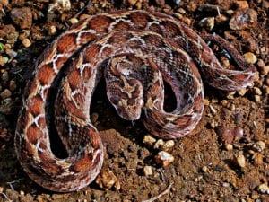 dangerous snakes viper