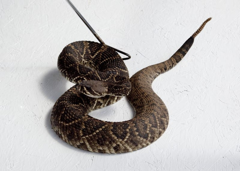 world's most dangerous snakes rattlesnake