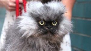 rich pets Colonel Meow