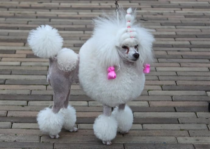 Poodle-crazy dog haircuts