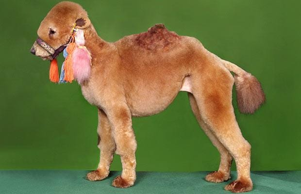 Poodle turned into a dog camel - crazy dog haircuts
