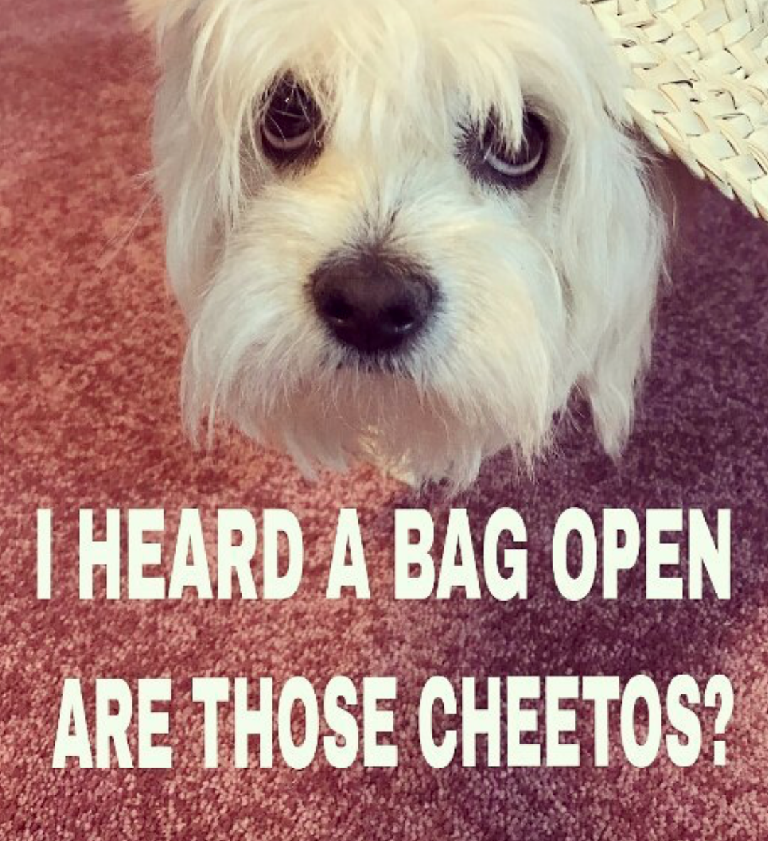 begging dog asking for Cheetos