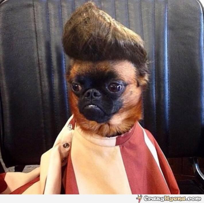 crazy dog grooming - Elvis haircut