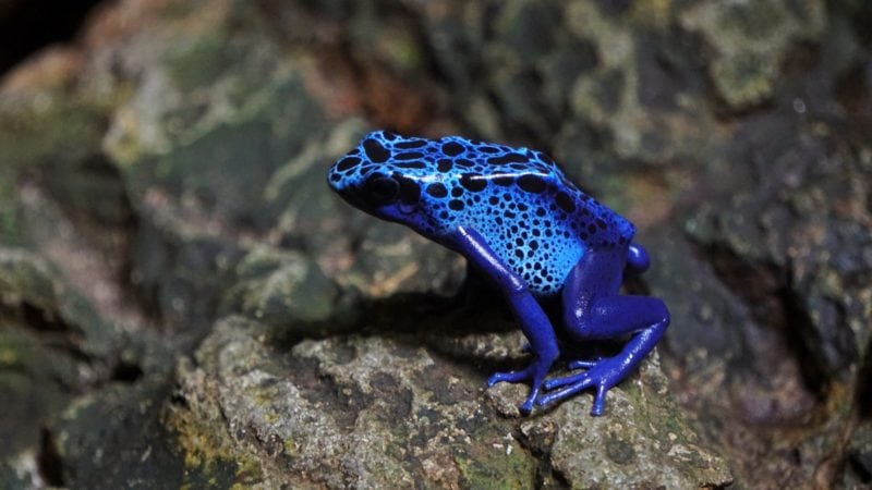 deadly animals Poison Dart Frog