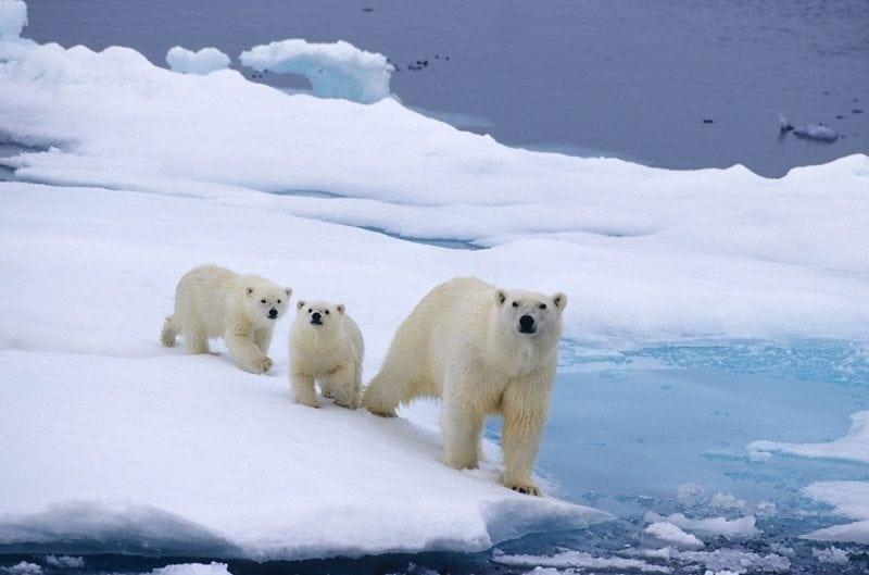 deadly animals polar bears