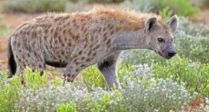 deadly animals Hyena