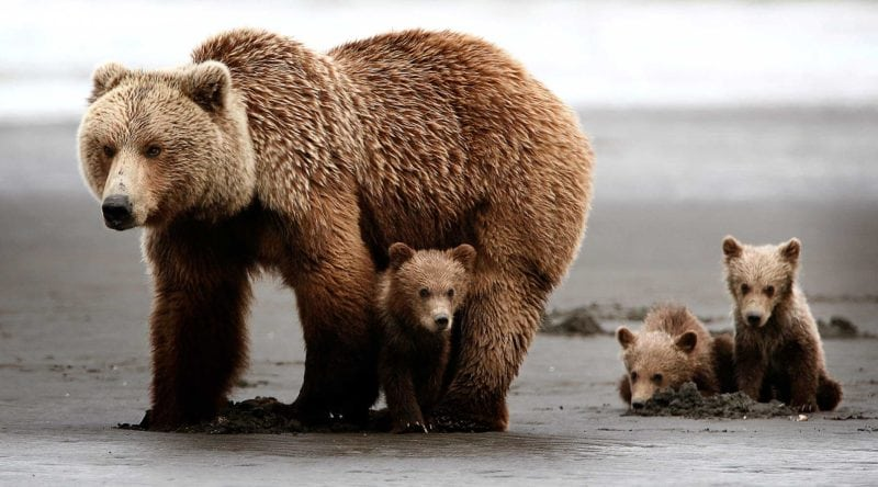 deadly animals grizzly bears