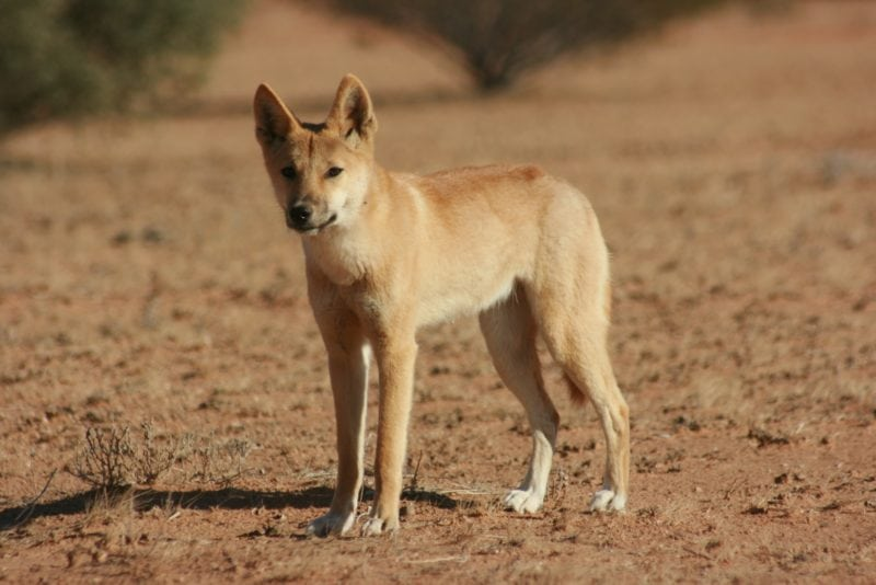 deadly animals dingoes