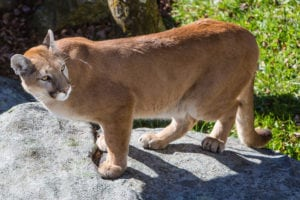 dead animals Mountain Lions/Cougars