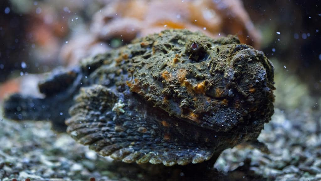 deadly animals Stonefish
