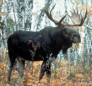 deadly animals Moose