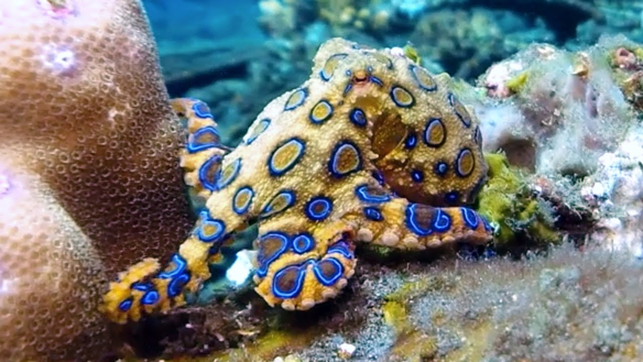 deadly animals Blue Ring Octopus