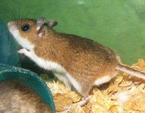 deadly animals Deer Mice
