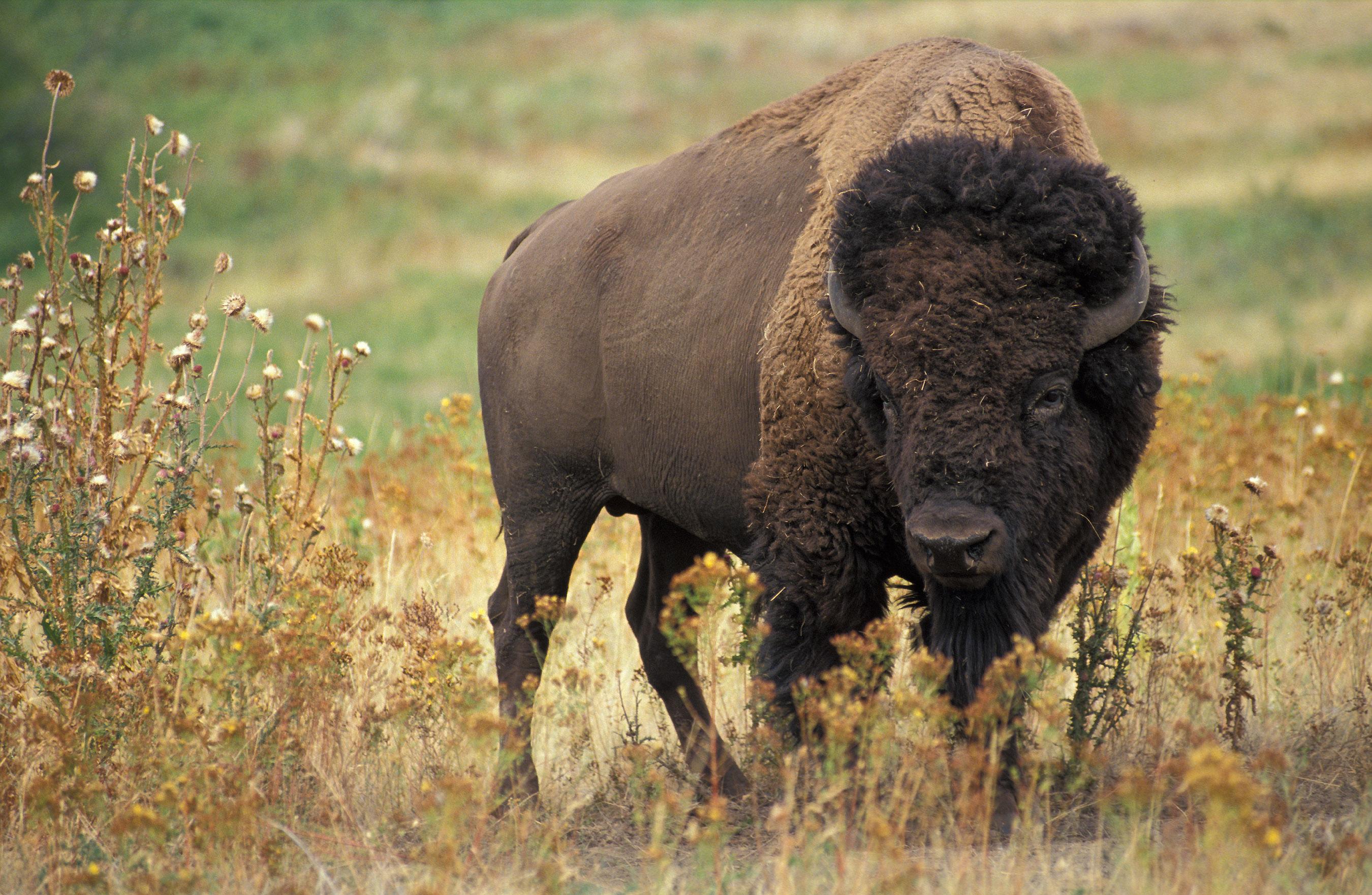 deadly animals Bison