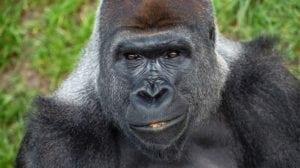 deadly animals Gorillas