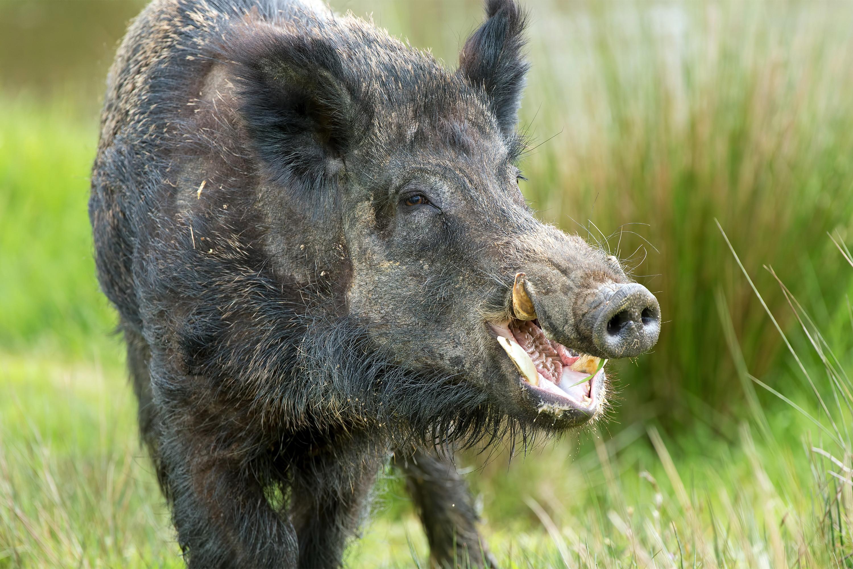deadly animals Wild Boars