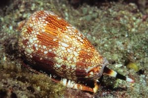deadly animals Cone Snail
