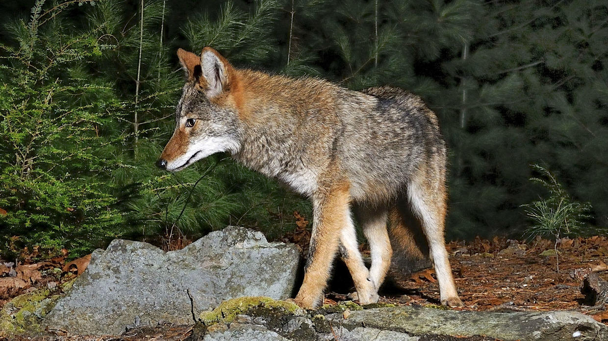 deadly animals Coyotes
