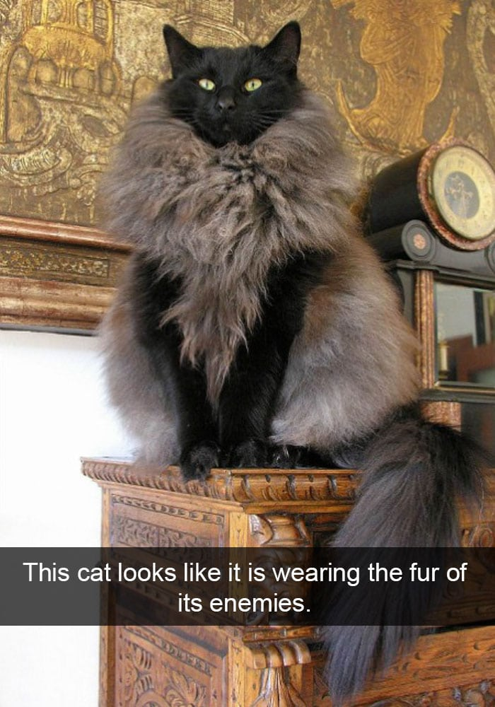 funny cat pictures | cat wearing fur