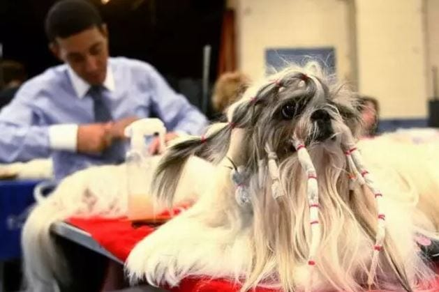 too many hair ties crazy dog haircuts
