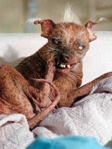 Winner of the 2003 - 2006 World's Ugliest Dog Contest