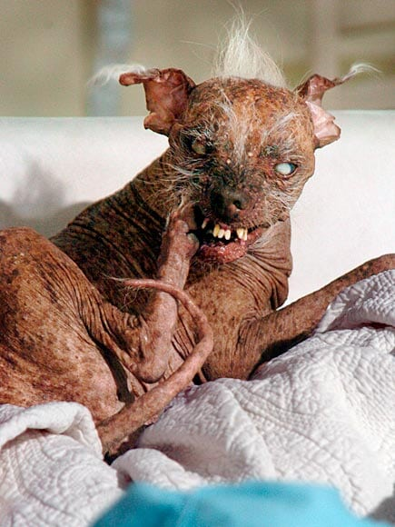 Winner of the 2003 - 2006 World's Ugliest Dog Contest