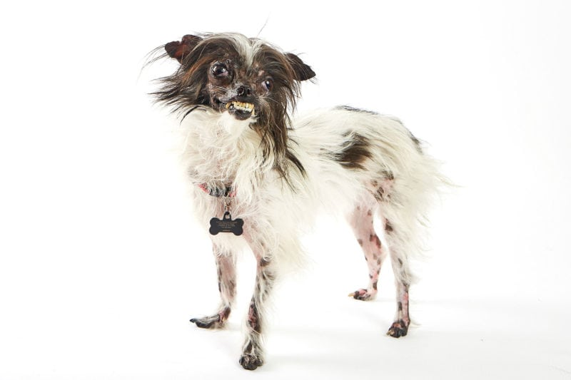 Winner of the 2014 World's Ugliest Dog Contest