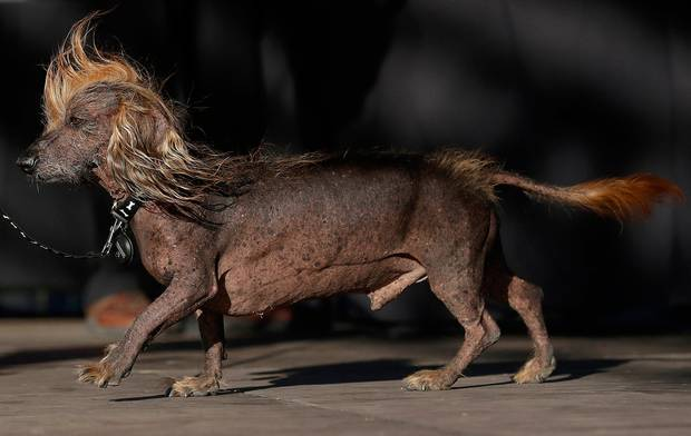2018 World's Ugliest Dog Runner Up
