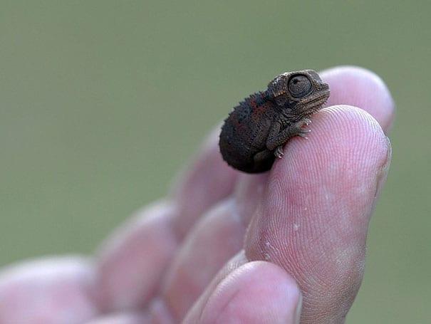 baby chameleon on the finger