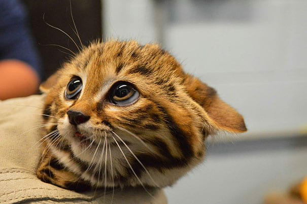 baby black footed cat
