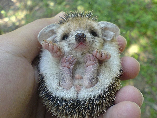 cute baby animals - hedgehog