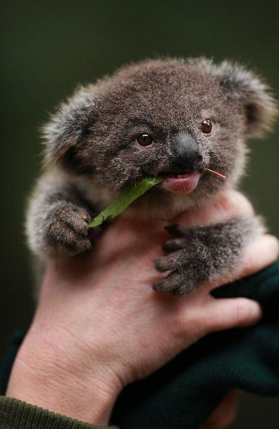 cute baby animals - koala
