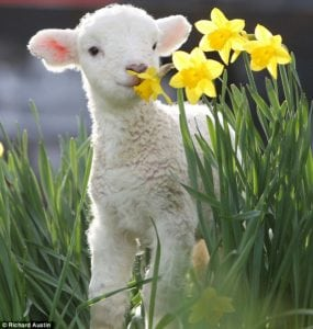 cute baby animals - lamb