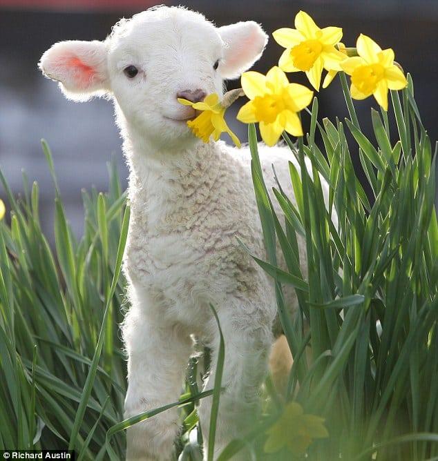 cute baby animals - lamb