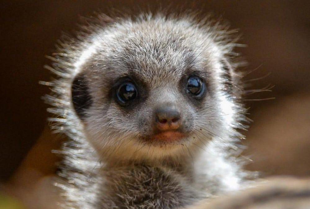 cute baby animals - meerkat