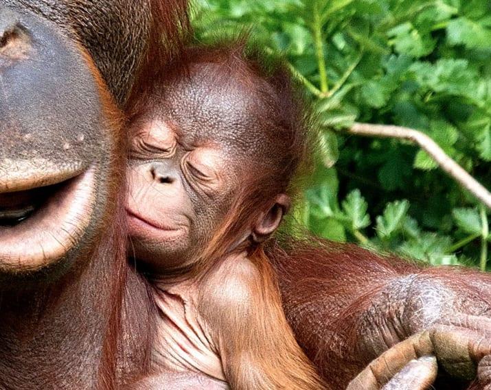 cute baby animals - orangutan