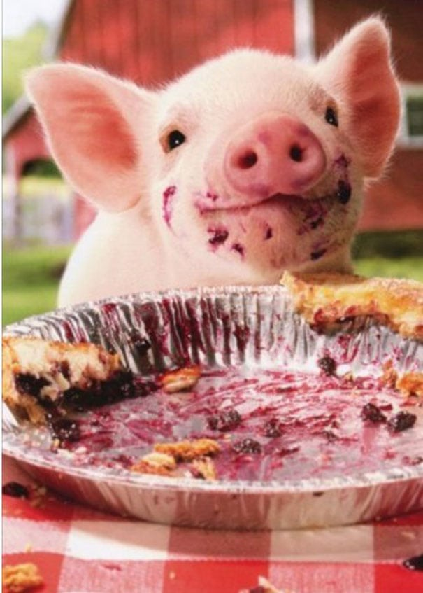 cute baby animals - piglet eating pies