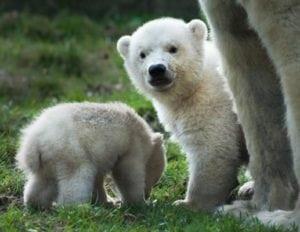 cute baby animals - polar bear