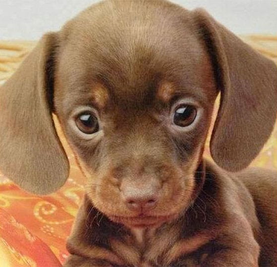 cute baby animals - puppy with big eyes